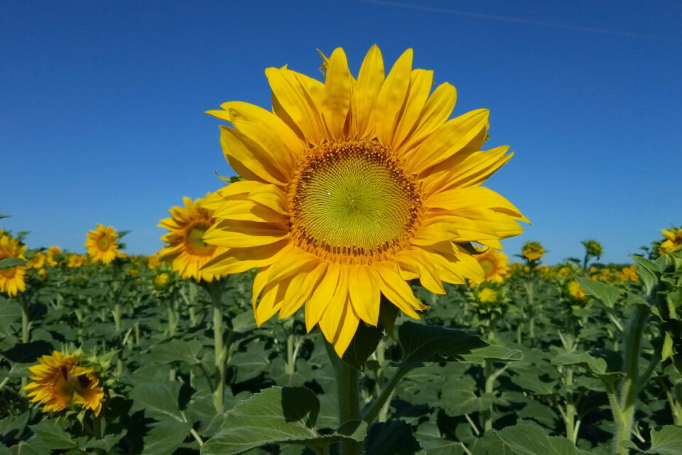 TOP-5 importers of Ukrainian sunflower oil since the beginning of the year were named